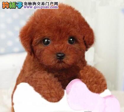 进口可爱泰迪犬低价出售中 欢迎来南昌犬舍直接挑选
