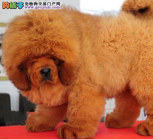 直销价格出售藏獒幼犬 南昌周边可上门购买有礼品相送
