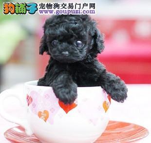 自家繁殖茶杯犬出售公母都有签协议上门选