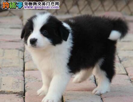 北京咖啡色边境牧羊犬 黑白陨石边牧 实在价格出售