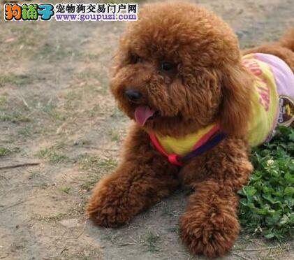成都养殖基地出售六种颜色齐全的泰迪犬 请您放心选购2