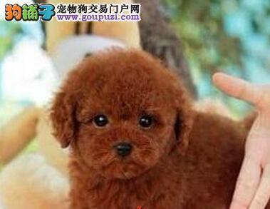 南京繁育精品贵宾犬纯种健康疫苗驱虫已做可签协议