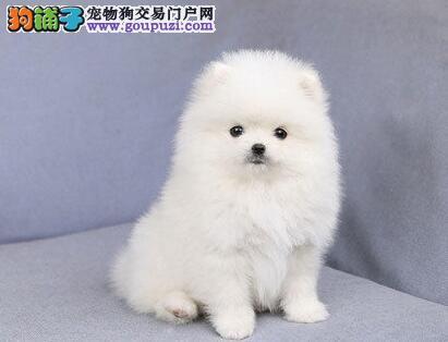 哈尔滨犬舍特价徐晓赛级哈多利版博美犬 有证书品质高