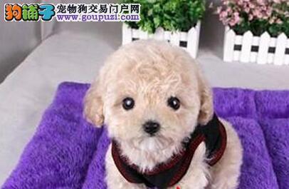 正规犬舍繁殖纯种泰迪熊 包活签协议 赠送用品 包养活