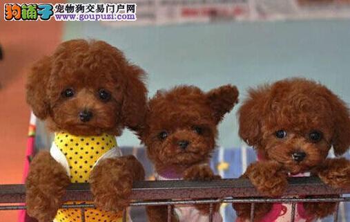 超可爱茶杯体型泰迪宝宝待售中 济南的朋友上门选购