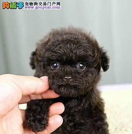 精品韩系泰迪犬长春犬舍直销 身体健康和血统有保证3