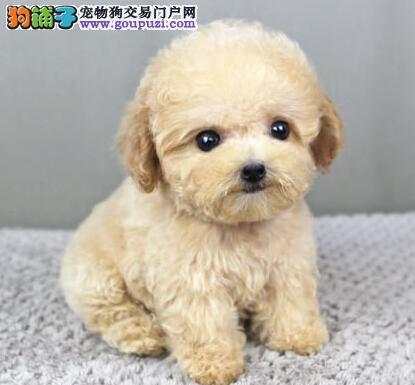 出售茶杯血系的泰迪犬 南昌的朋友可直接上门选购