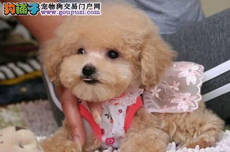 信阳纯种韩系小体玩具泰迪熊宝宝可爱至极泰迪犬包售后