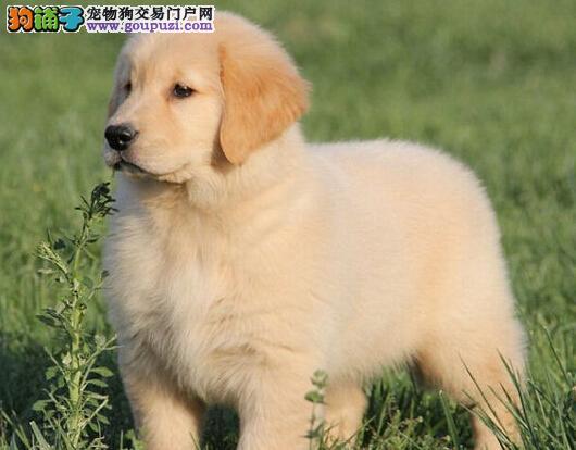 福州本地养殖场出售大骨架金毛犬 已做疫苗有问题可退