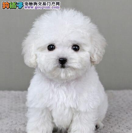 棉花糖版十分可爱的宁波泰迪犬找爸爸妈妈 签订协议书