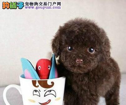 出售聪明伶俐天津泰迪犬品相极佳包养活送用品4