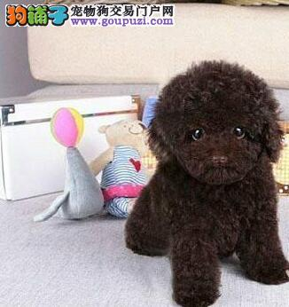 多种颜色的济南泰迪犬找爸爸妈妈 请大家放心品质售后2