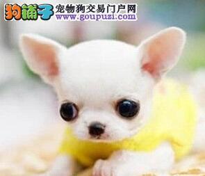 苹果头金鱼眼的包头吉娃娃幼犬找新家 完善售后服务