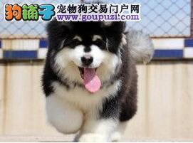 双十字阿拉斯加雪橇犬特价转让 邯郸正规犬舍低价出售