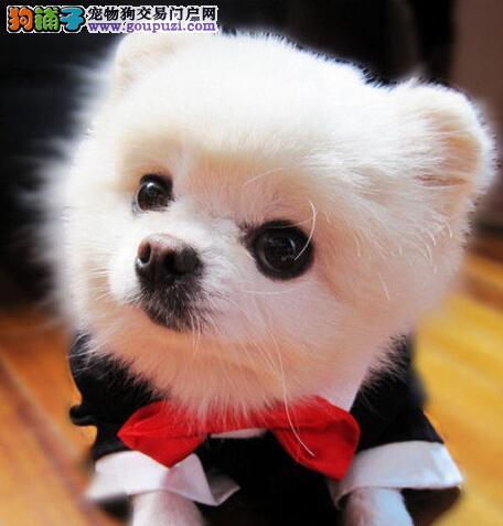 美容秘诀 教教大家如何给博美犬做美容