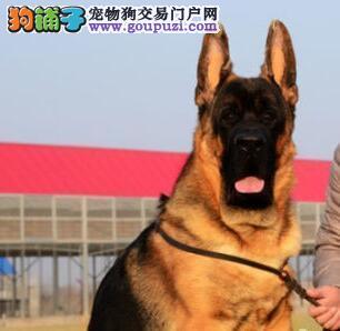 出售精品锤系大骨量大腮皮的济南德国牧羊幼犬