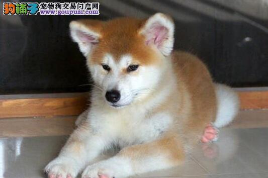 特价转让日系南京秋田犬 保证血统纯正可签订售后合同