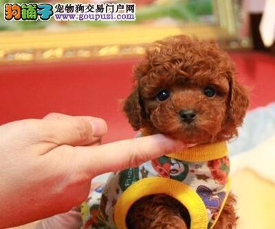纯种进口血统韩系泰迪犬特价转让 包头地区有实体店2