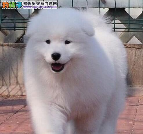 杭州专业狗场繁殖萨摩耶犬幼犬 包养活签协议有保障