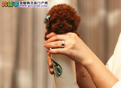 纯种进口血统韩系泰迪犬特价转让 包头地区有实体店1