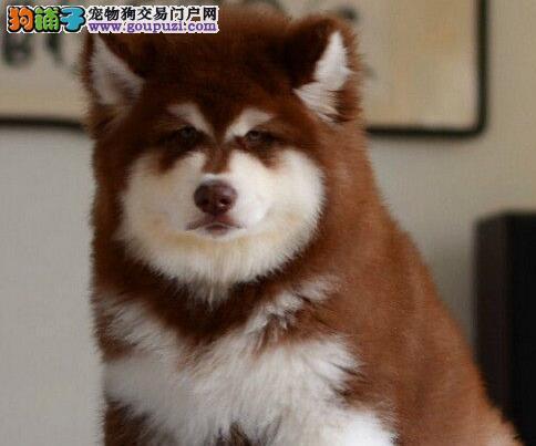 珠海培育中心直销帅气的阿拉斯加犬 可随时视频看狗