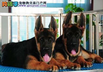 基地促销高品质杭州德国牧羊犬证书齐全签协议