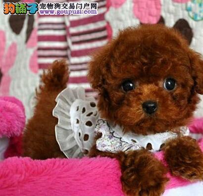 热销韩系血统长沙泰迪犬 可刷卡可视频可签订协议1