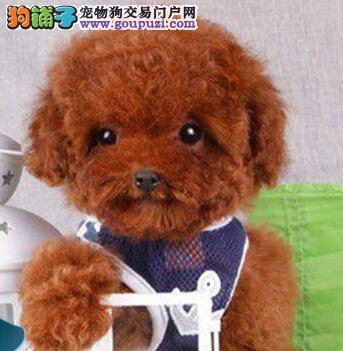 贵宾犬我们最专业纯正美系高品质贵宾宝宝待售中