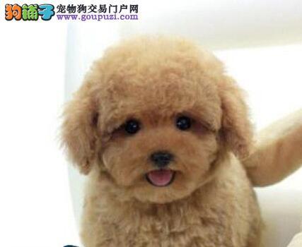 出售多种颜色邢台纯种贵宾犬幼犬可直接视频挑选
