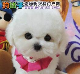 广州犬场直销纯种泰迪犬包品相包健康送泰迪犬狗粮等