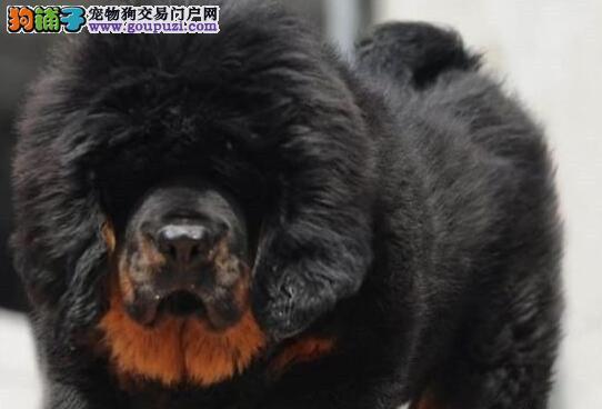 大狮子头铁头包金血系的兰州藏獒幼崽低价出售 签协议
