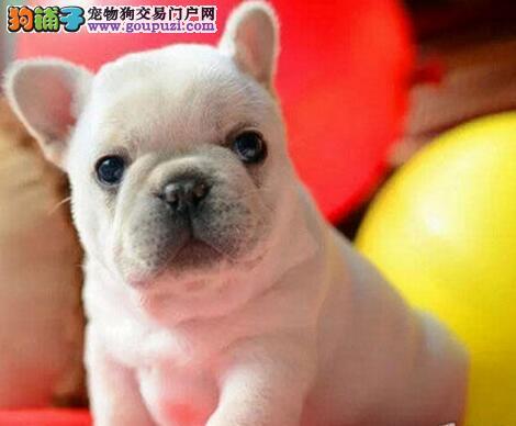 繁殖高品质法国斗牛犬幼犬出售 包健康三个月包可退换