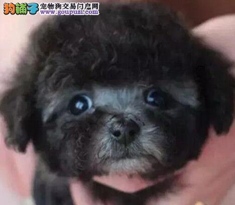 驻马店市出售泰迪犬 公母都有 签售后协议 质保三年