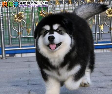 阿拉斯加犬幼崽出售中,纯度第一价位最低,微信咨询看狗