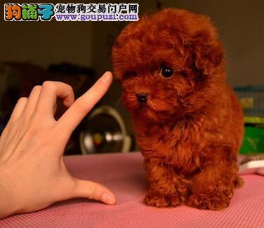 厦门最大犬舍出售多种颜色泰迪犬终身完善售后服务3