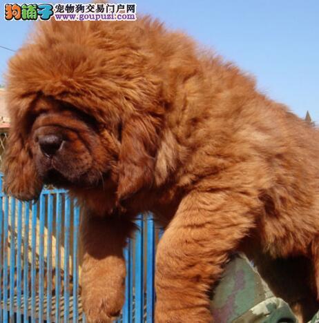 藏獒幼犬 纯种健康可签订协议 骨架大 毛量足 信誉第一