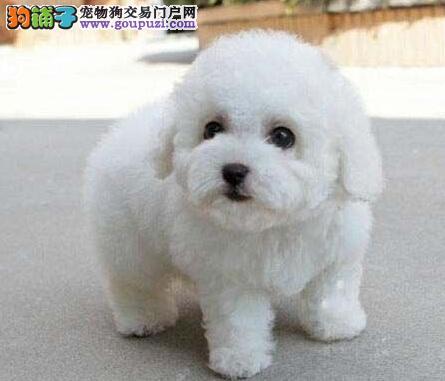可爱小型卷毛比熊幼犬徐州出售 不掉毛无体味品质一流