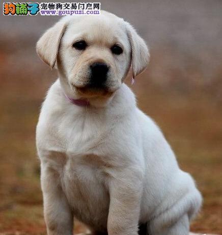 训练成功的基础 如何牵好拉布拉多犬的狗绳