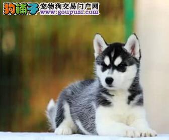 上海养殖场直销哈士奇犬品相超级好血统纯正