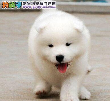 北京基地专业繁殖直销萨摩耶犬 保健康送用品