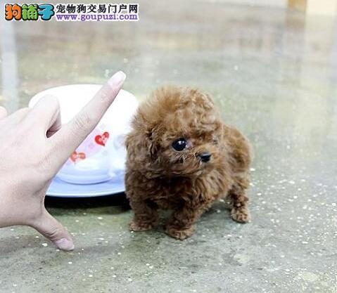 北京售泰迪犬幼犬 小贵宾卷毛犬幼犬公母全有欢迎挑选