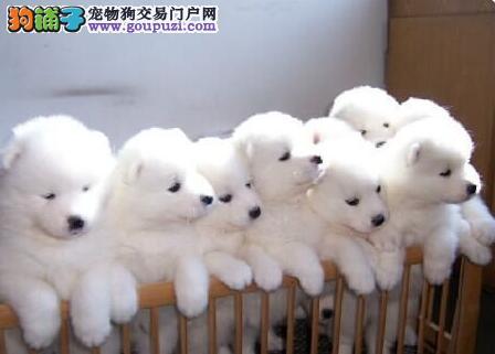 上海售家养澳版萨摩耶宝宝多只挑选健康签协议看父母