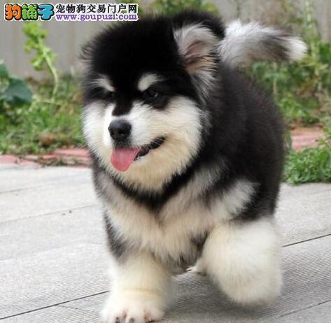 低价出售 纯种阿拉斯加雪橇犬