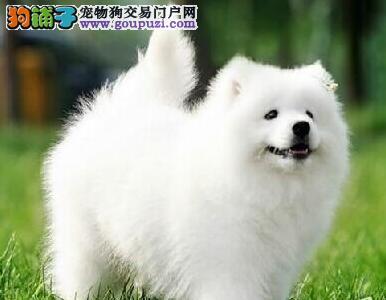 出售纯种健康的廊坊萨摩耶幼犬包养活包退换