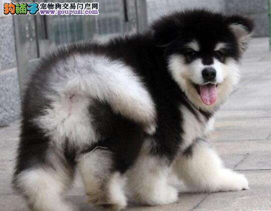 伊春市售阿拉斯加巨型熊版阿拉斯加雪橇犬 大阿