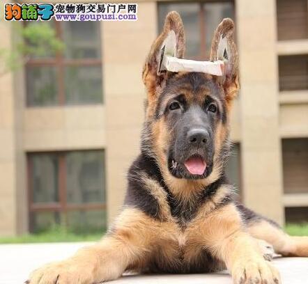 杭州最大狗场 德国牧羊犬等品种热卖 保健康送用品