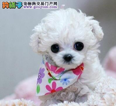 天津纯种小体贵宾犬多色可选血统纯正身体健康已做防疫