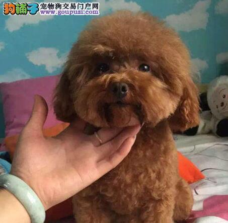 出售纯种健康的泰迪犬幼犬签署质保合同