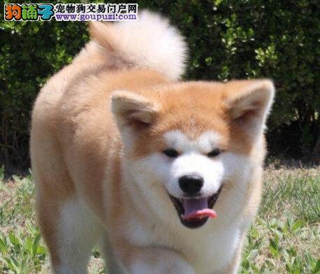 生活帮手如何给秋田犬正确的带上狗绳