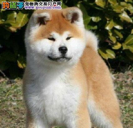 本地养殖基地常年出售秋田犬和柴犬